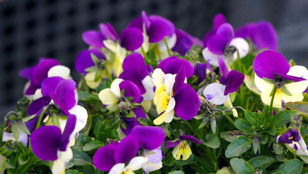 Viola Purple Flower